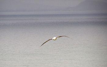 Northern Royal Albatross at Royal Albatross Centre, Taiaroa Head, Otago Peninsula, Dunedin, New Zealand (Photo by TheTravelMavens.com)