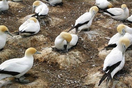 Nesting gannets at Cape Kidnappers near Napier, New Zealand (Photo by David G. Molyneaux, TheTravelMavens.com)