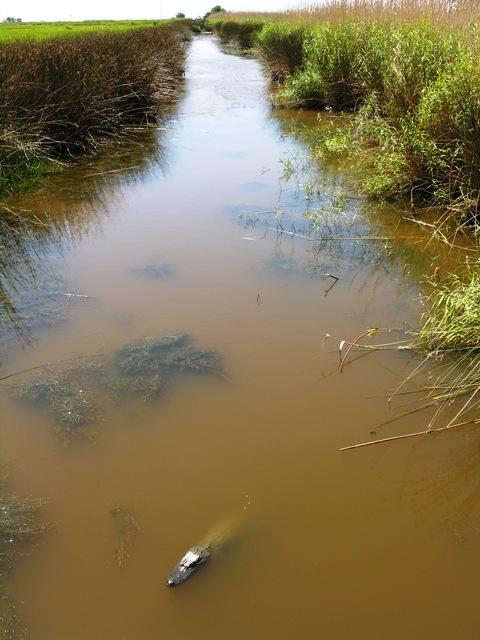 An alligator in the sun in Cameron Parish, Louisiana (Photo by David G. Molyneaux, TheTravelMavens.com)