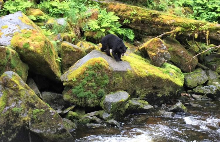 A black bear approaches Anan Creek, Alaska (photos by David G. Molyneaux, TheTravelMavens.com)
