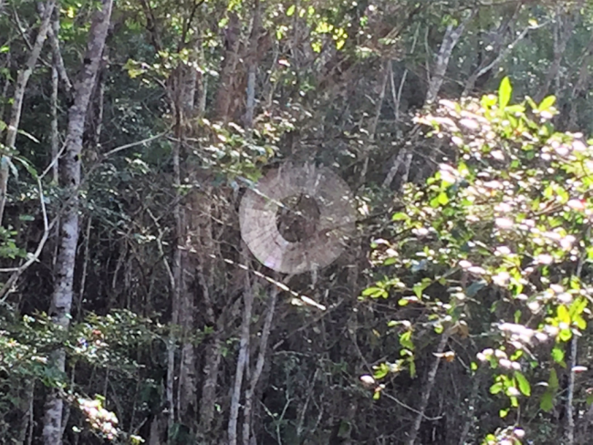 Spider web in the middle of the trail at Zapata Swamp National Park, Cuba (Photo by David G. Molyneaux, TheTravelMavens.com)