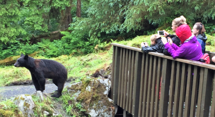 A black bear saunters by travelers at Anan Wildlife Observatory without a care (Photo by David G. Molyneaux, TheTravelMavens.com)