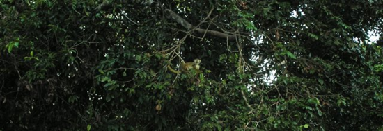 A howler monkey hanging out on the river in the Upper Amazon, Peru (Photo by David G. Molyneaux, TheTravelMavens.com)