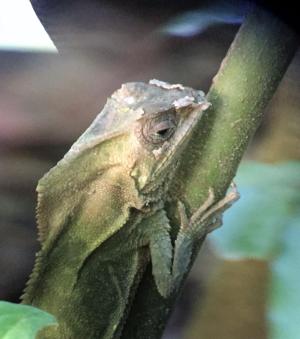 Helmut Iguana at Manuel Antonio National Park, near Port Quepos, Costa Rica, on a tour off Star Pride (Photo by David G. Molyneaux, TheTravelMavens.com)