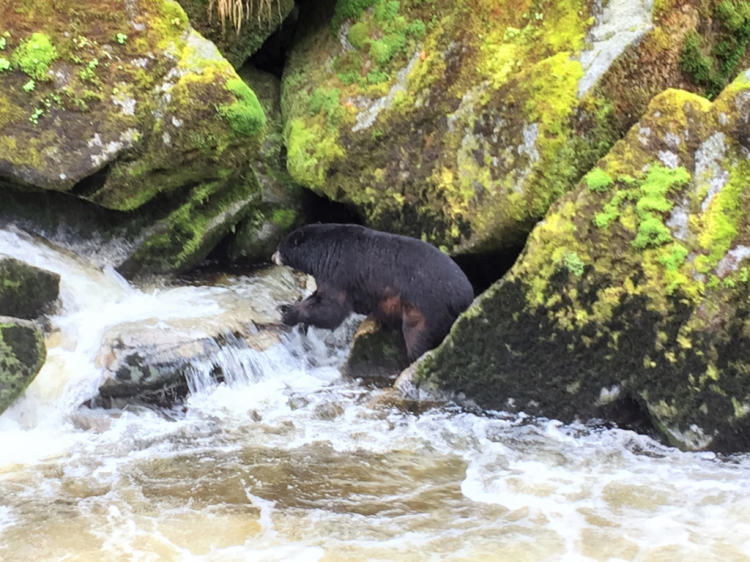 Black bear fishes in Anan Creek, Alaska, beneath the Anan Wildlife Observatory platform (Photo by David G. Molyneaux, TheTravelMavens.com)
