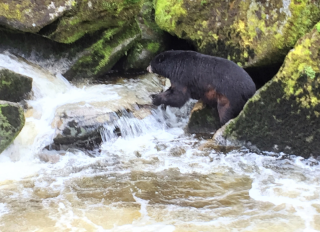 Black bear fishes at Anan Wildlife Observatory (Photo by David G. Molyneaux, TheTravelMavens.com)